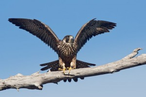 Falco pellegrino, il simbolo del Parco dei Monti Simbruini