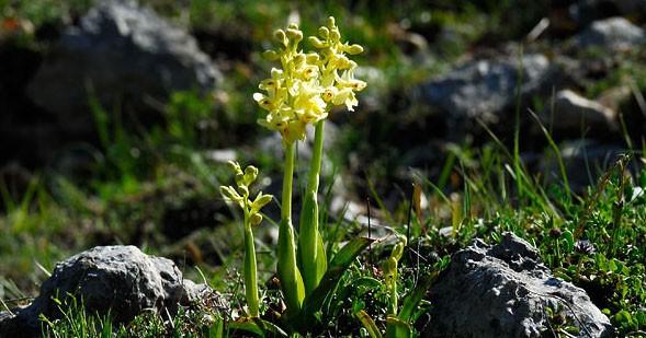 Le orchidee dei Monti Simbruini