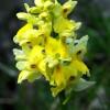 Monti Simbruini, Orchis pauciflora