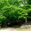 Jenne: Faggeta sugli altipiani  (Sentiero 674a Piana dei Fondi - Stellante)