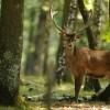 I cervi sono stati reintrodotti con successo nel Parco dei Monti Simbruini