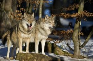 Sui Monti Simbruini vivono due branchi di lupi