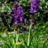 Monte Autore (Subiaco).  Orchidea di Montagna