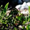 Monte Autore (Subiaco).  Il raro Semprevivo italico è una specie endemica dei Monti Simbruini