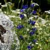 Cervara di Roma, in primavera sul colle della Prugna (Erba viperina - Echium vulgare)