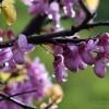 albero-di-giuda-6783a