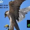 avvicinamento-rapaci-viperella-01
